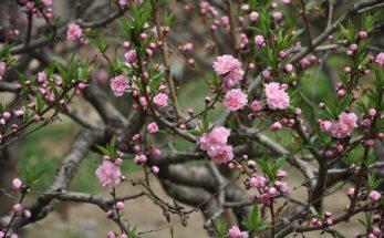 hoa đào sapa