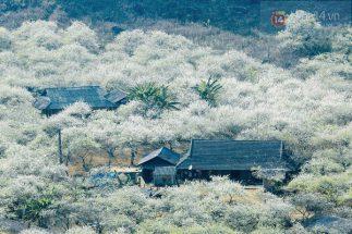 Mộc Châu đã bắt đầu vào mùa hoa mận rồi, rủ bạn bè đi săn ảnh đẹp thôi nào post image