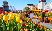 Không chỉ hoa anh đào, Hàn Quốc gây ấn tượng mạnh bởi hoa TuLip