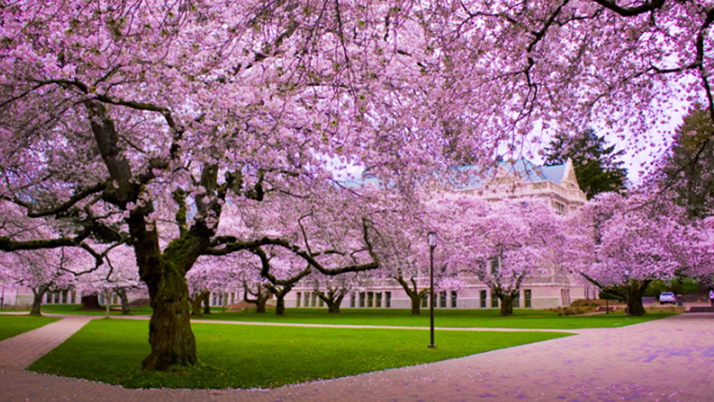 Sự tích hoa anh đào Nhật Bản