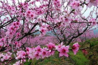 du lịch mùa hoa đào Sapa 2019