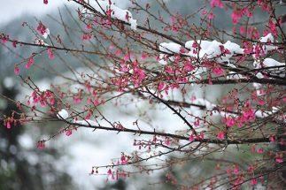du lịch sapa mua hoa đào 2019