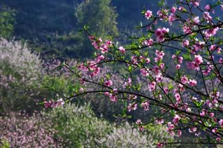 hoa Đào rừng sapa