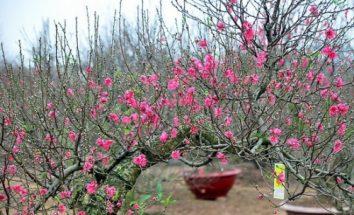 Hoa đào tượng trưng cho sự sinh sôi nảy nở