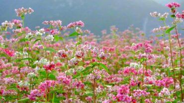 hoa tam giác mạch