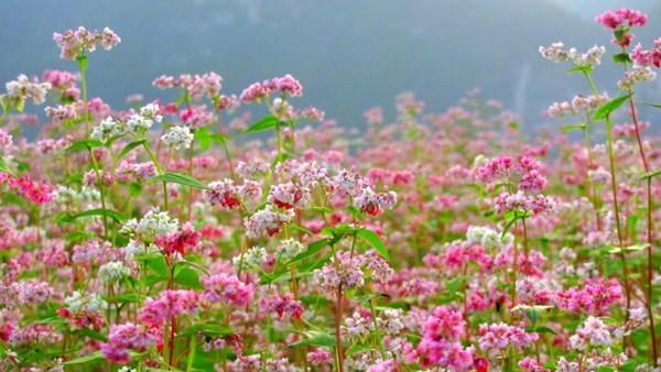 Kinh nghiệm đi du lịch Đông Bắc mùa hoa Tam Giác Mạch post image